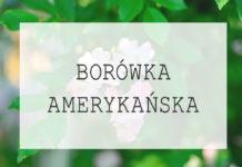 Borówka amerykańska - uprawa, odmiany, sadzenie, pielęgnacja, porady