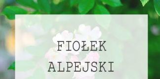 Fiołek alpejski - sadzenie, pielęgnacja, uprawa, wymagania