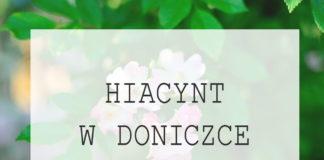 Hiacynt w doniczce - podlewanie i pielęgnacja hiacynta w domu