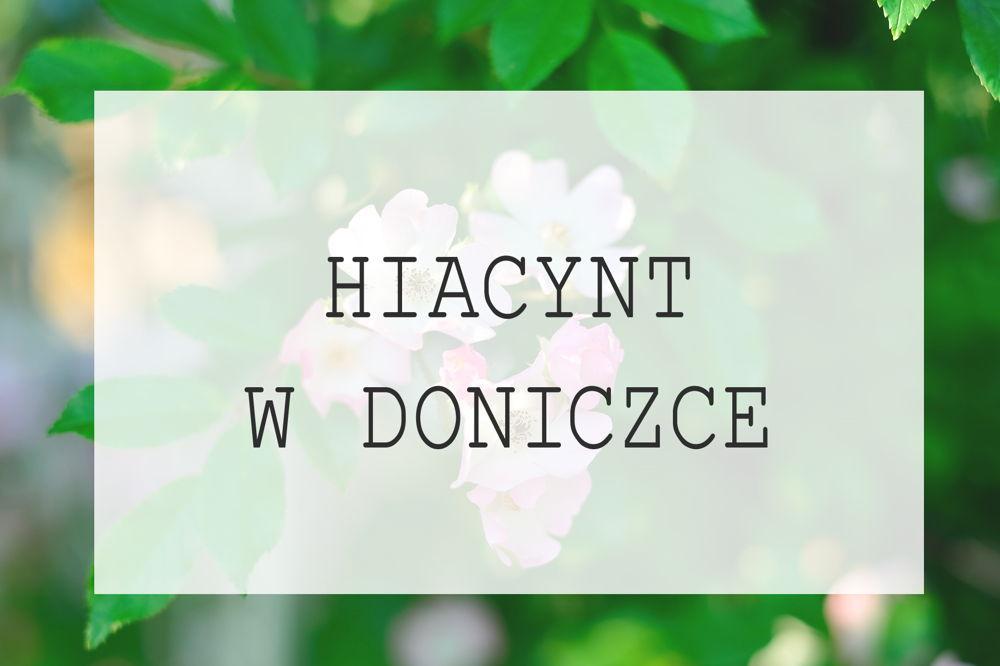 Hiacynt W Doniczce Podlewanie I Pielęgnacja Hiacynta W