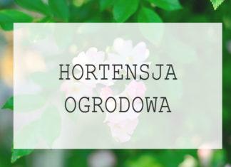 Hortensja ogrodowa - uprawa, pielęgnacja, porady dla hodujących hortensję